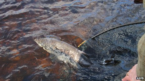 Salmon being released back into water
