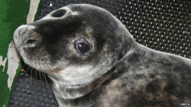 Eden the seal pup