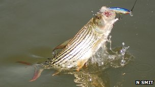 African tigerfish takes bait