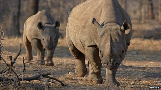 An endangered east African black rhinoceros and her young one walk in Tanzania's Serengeti park (file photo)
