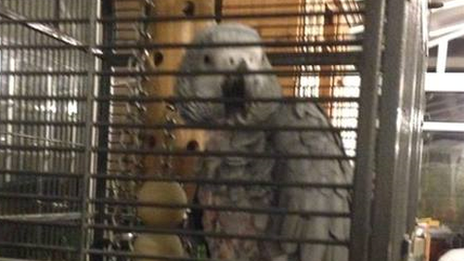 The stolen African Grey called Jak
