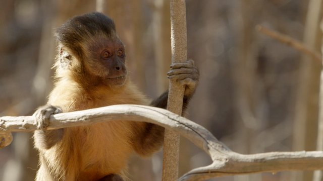 Flirting monkeys 'stone' their mates