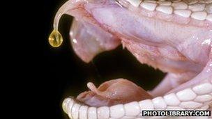 Snake fang dripping venom