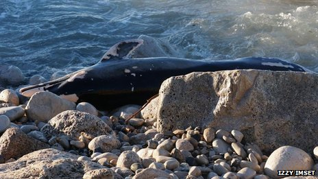 Dead dolphin/porpoise found on Chesil Beach