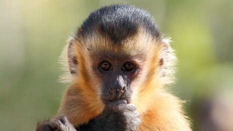 A bearded capuchin