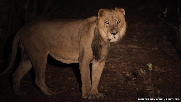Lion in Senegal