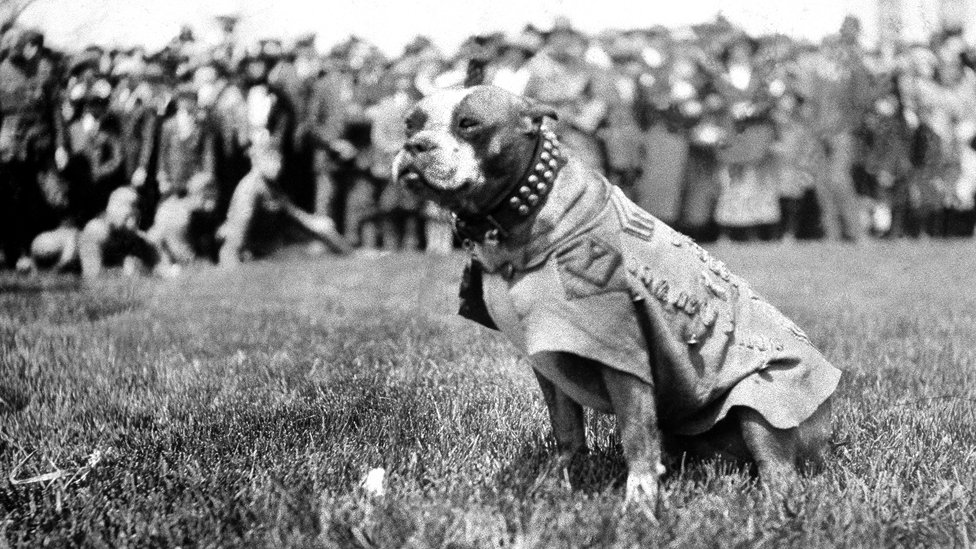 Sergeant Stubby wearing decorated jacket