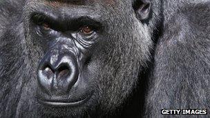 A real gorilla