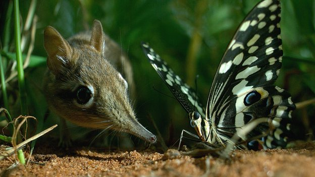 A Rufous elephant shrew investigates a butterfly