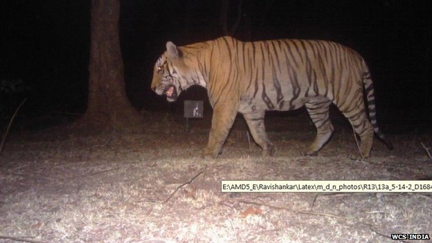 A camera-trap photo of the Bandipur man-eater in its prime