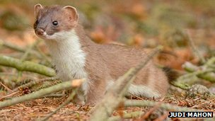 Stoat with summer coat