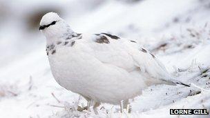 Ptarmigan, winter plumage