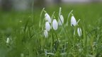 Snowdrops by Ian Kirk
