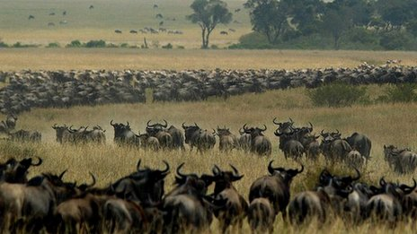 Wildebeest wind through the Kenya's Masai Mara national reserve on their annual migration between Kenya and Tanzania