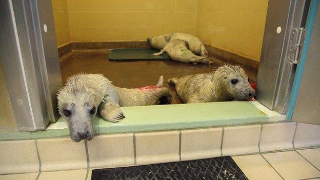 Seal pups