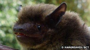 A Nathusius' pipistrelle