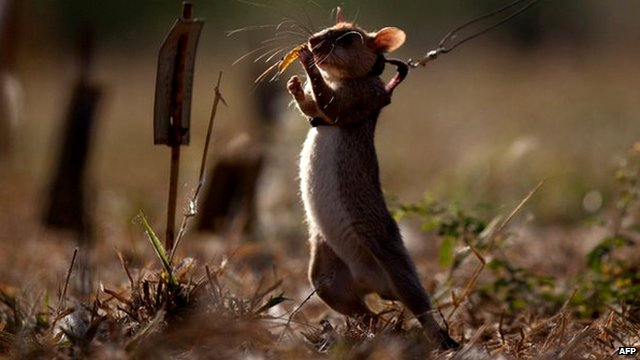 Giant rat training to sniff landmines
