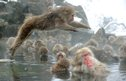 Japanese macaque monkeys