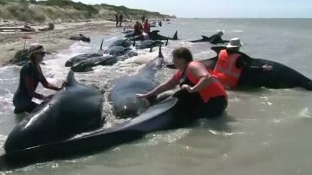 Volunteers re-floating stranded whales in New Zealand