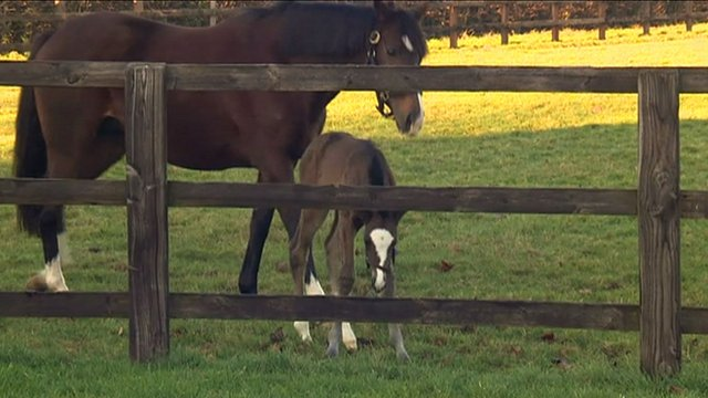 Frankel's foal goes for a stroll