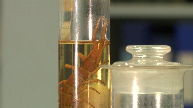 Centipede specimen in jar