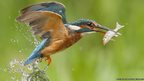 A kingfisher with a fish in its beak