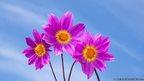Three pink flowers