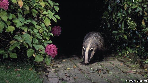 Badger in a garden