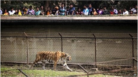 A tiger in a zoo in Calcutta, India