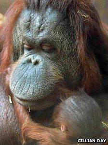 Kibriah the orang-utan with her baby