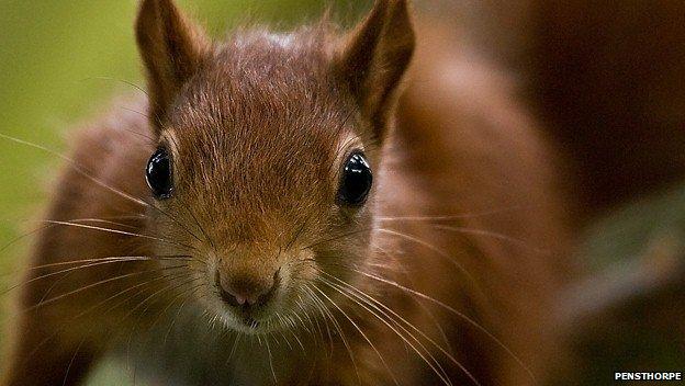 Red squirrel kitten at Pensthorpe