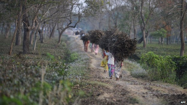 Indian tribal residents collect dry tea bushes to be used for firewood at the Dagapur tea garden on the outskirts of Siliguri in the eastern state of West Bengal on January 23, 2014