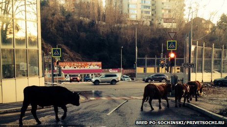 Cows loiter in the streets of Olympic host city Sochi