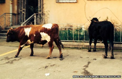 Cows spotted outside an apartment building in Sochi