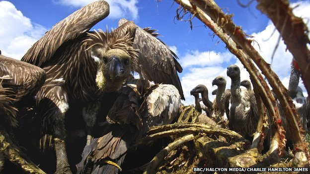 White-backed vultures eat the carcass of a dead Eland in Athi Kapiti, Kenya.