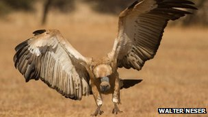 Southern Africa's cape vultures face an uncertain future