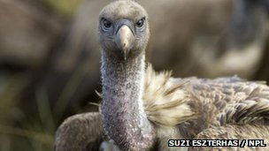 A Ruppell's vulture