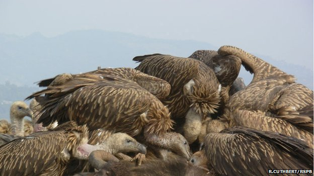 Vultures feasting on a carcass (Image: Richard Cuthbert/rspb-images.com)