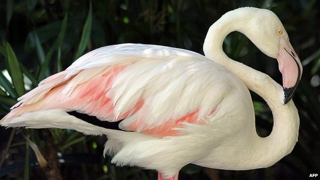 An undated handout picture released by the Adelaide Zoo shows a 83-year old flamingo standing at the Adelaide zoo
