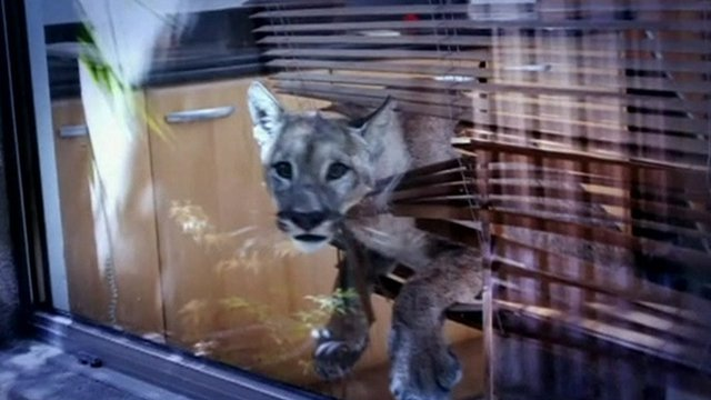 A puma caught up in a Venetian blind