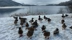 "Valerie Pegler from Livingston took this near St Fillans at Loch Earn.  She says: ""The ducks gathered around our car in the hope that we had some food for them."""