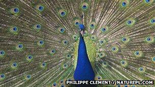 A peacock's eye spots