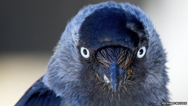 Jackdaw with bright eyes