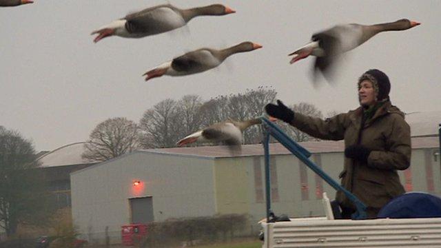 Geese follow 'human mum'