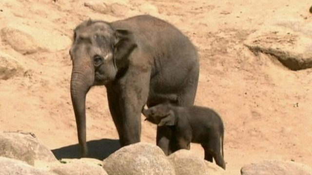 Baby elephant with his mum