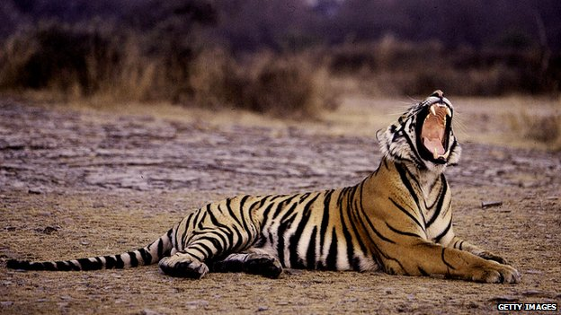 A tiger yawns at the Ranthambore National Park, in India's north-western Rajasthan state, in a picture taken in January 2004