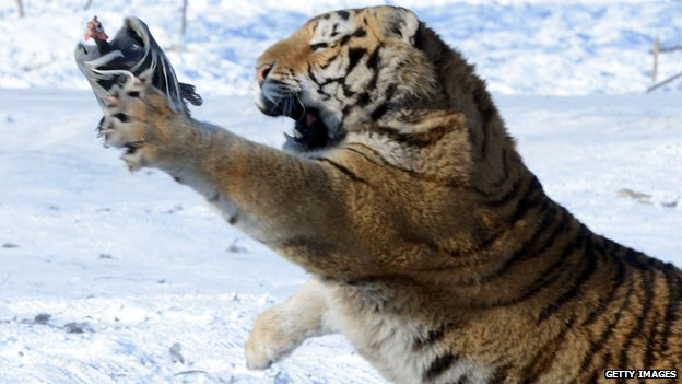 Siberian tiger catches a live chicken