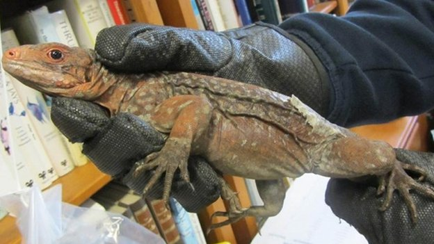 One of the endangered iguanas seized by Border Force officers