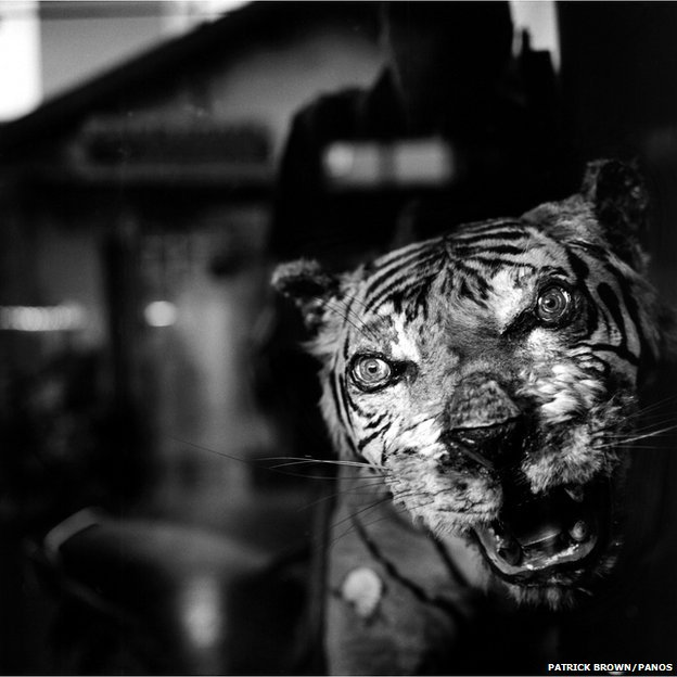 A stuffed tiger on display in a Chinese medicine shop in the coastal town of Phan Thiet. Central Vietnam, 2007