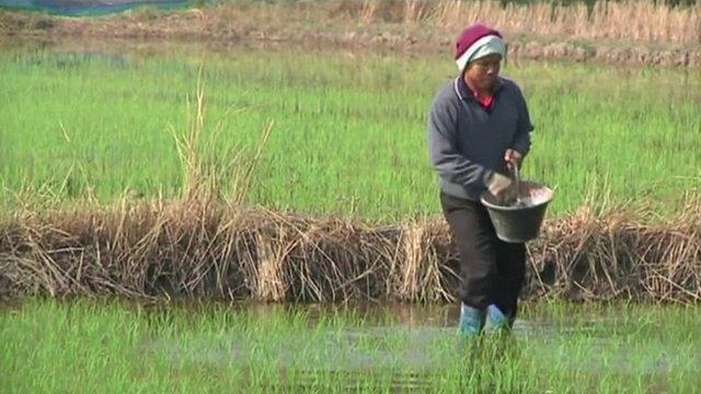 Worker in Thai rice field